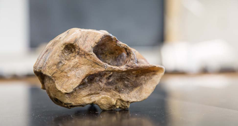 fossil of animal skull on lab table